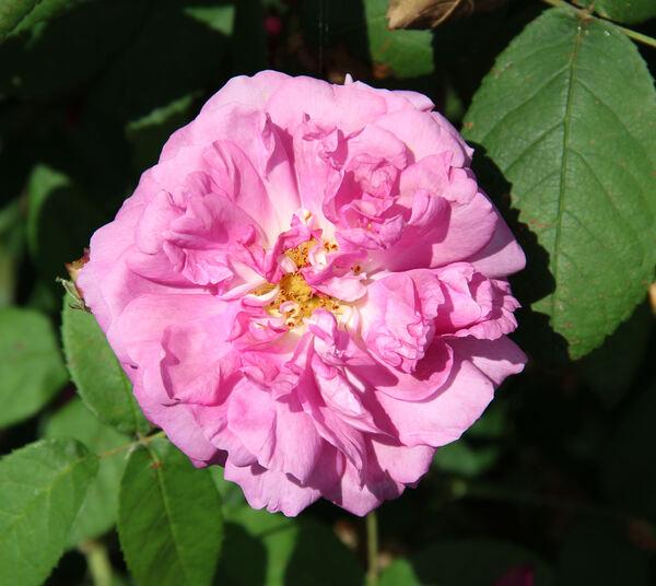 Rosa 'Président de Sèze'