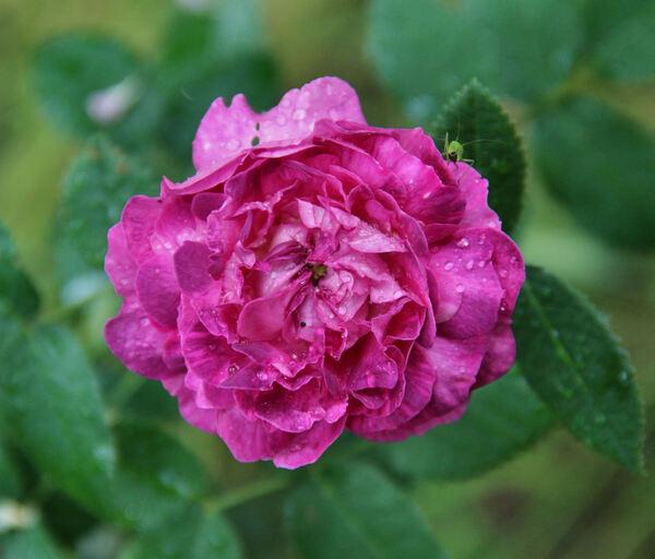 Rosa 'Hector'