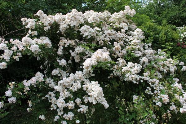 Rosa 'The Garland'