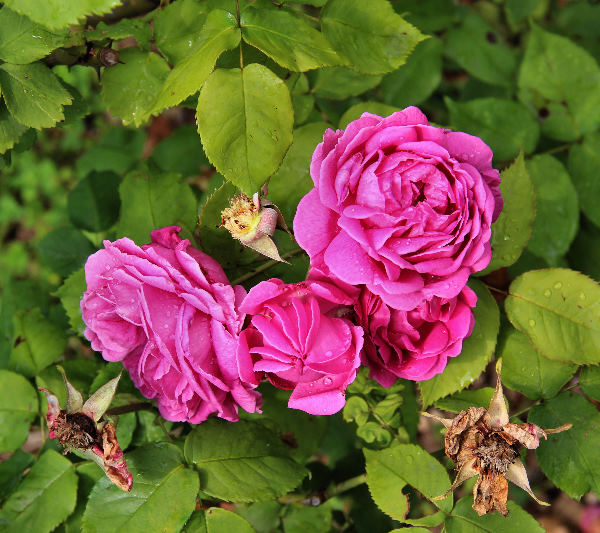 Rosa 'Dr. Andry'