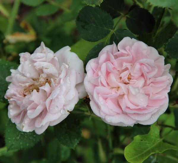 Rosa 'Ferox'