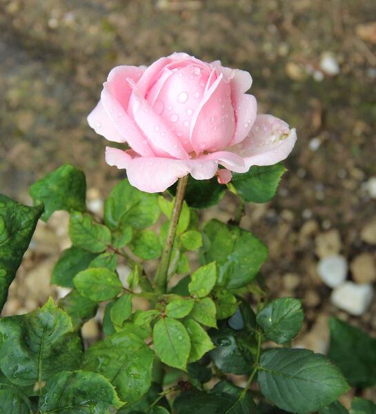 Rosa 'Mademoiselle Thérèse Levet'
