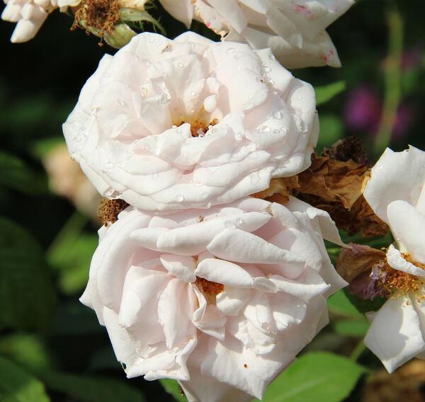 Rosa 'Aschermittwoch'