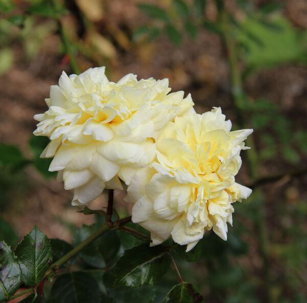 Rosa 'Primevère'