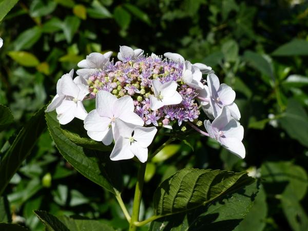 Hydrangea macrophylla (Thunb.) Ser. 'Libelle'