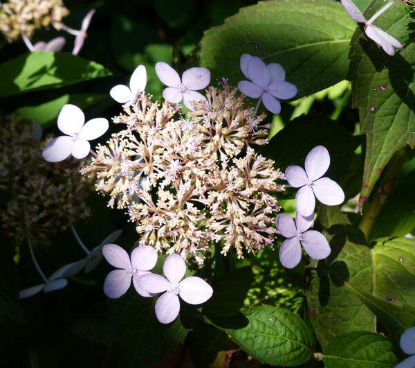 Hydrangea serrata (Thunb.) Ser. 'Tiara'