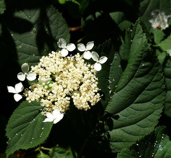 Hydrangea arborescens L. subsp. discolor (Ser. ex DC.) E. M. McClint.
