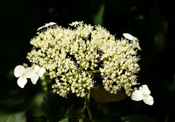 Hydrangea arborescens L. 'Hill of Snow'