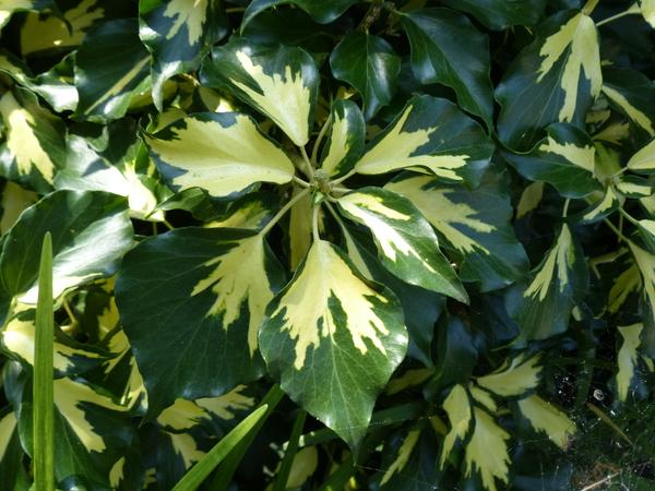 Hedera helix L. 'Arborescens Oro di Bogliasco'