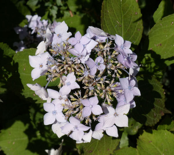 Hydrangea macrophylla (Thunb.) Ser. 'Lilacina'