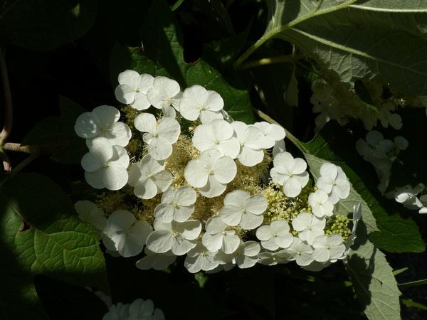 Hydrangea quercifolia Bartr. 'Pee Wee'