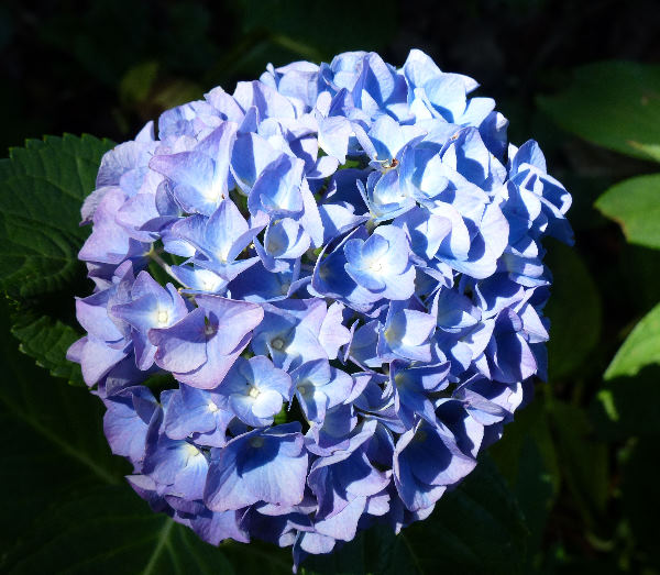 Hydrangea macrophylla (Thunb.) Ser. 'Mathilda Gütges'