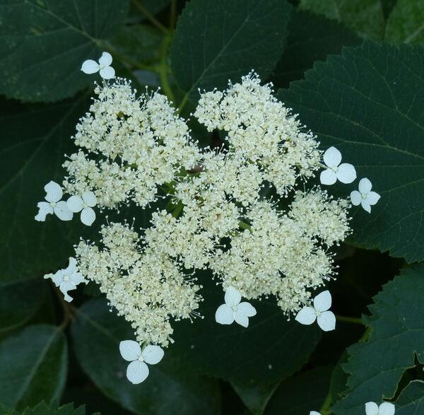 Hydrangea arborescens L.'Glabrata'