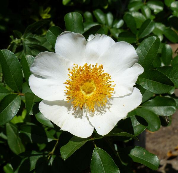 Rosa bracteata J.C.Wendl.