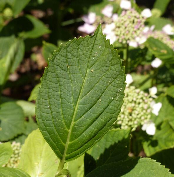 Hydrangea macrophylla (Thunb.) Ser. 'Geoffrey Chadbund'