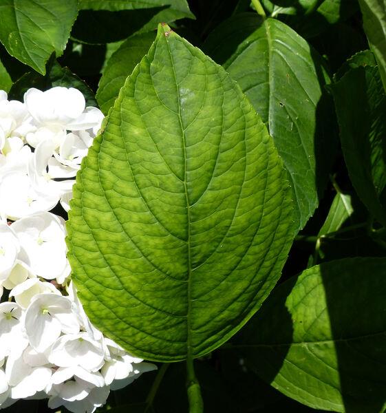 Hydrangea macrophylla (Thunb.) Ser. 'Hovaria Holibel'