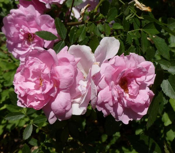 Rosa 'John Davis'