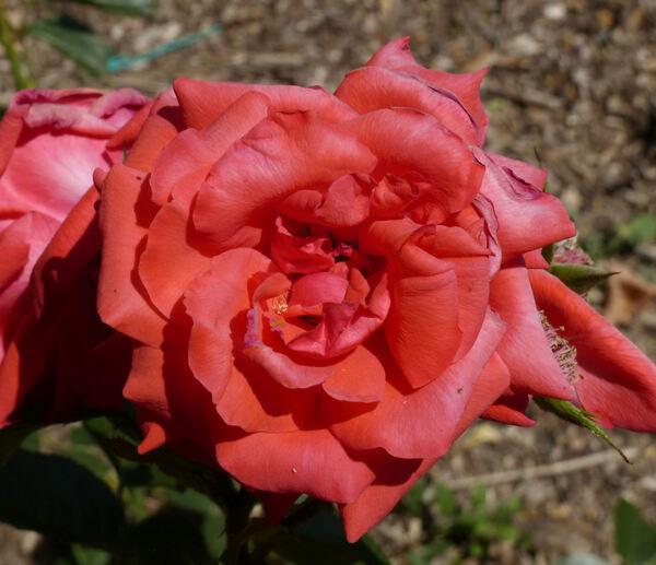Rosa 'Salita ®'