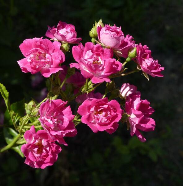 Rosa 'Super Excelsa ®'