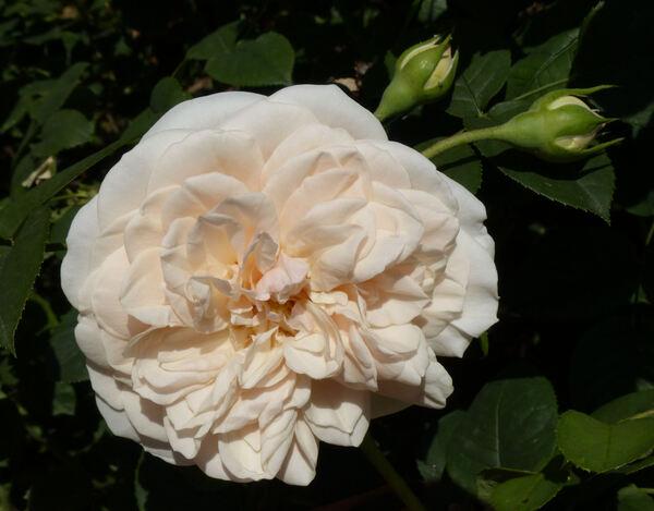 Rosa 'The Generous Gardener'