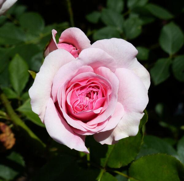Rosa 'Mariatheresia ®'