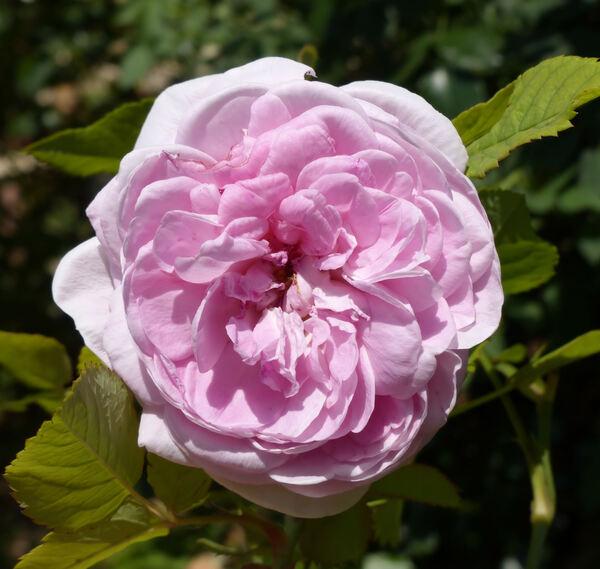 Rosa 'Assisi ®'