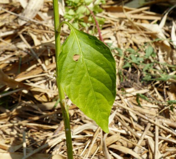 Capsicum annuum L. 'Diavolicchio Calabrese'