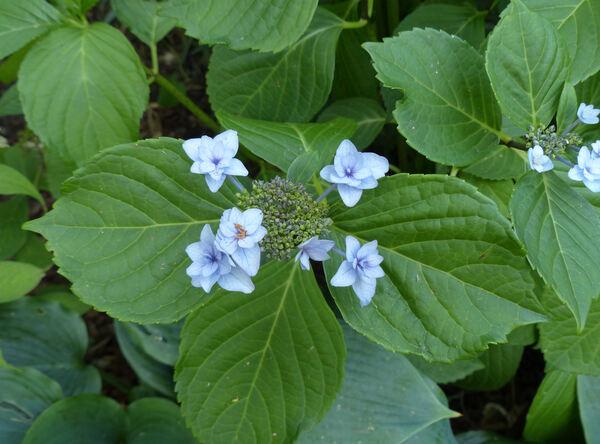 Hydrangea macrophylla (Thunb.) Ser. 'Etoile Violette'
