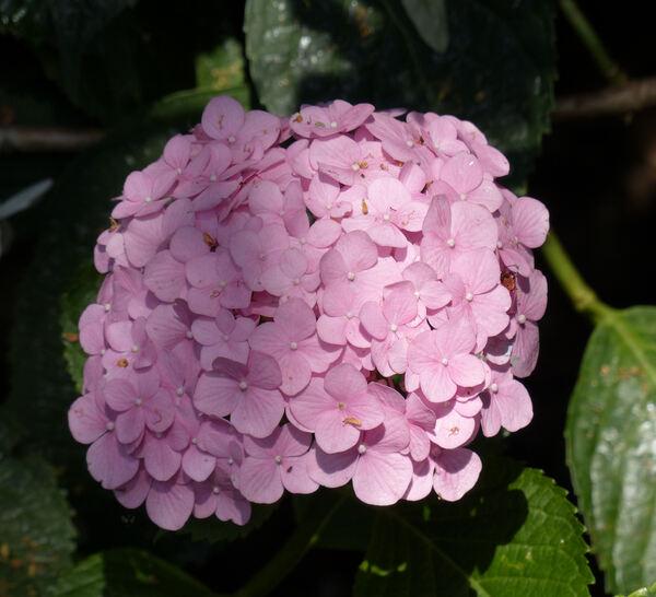 Hydrangea macrophylla (Thunb.) Ser. 'Ami Pasquier'
