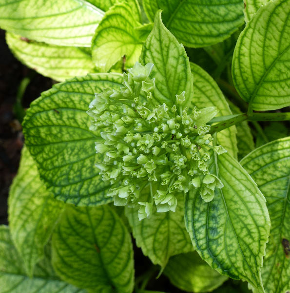 Hydrangea macrophylla (Thunb.) Ser. 'Sir Joseph Banks'