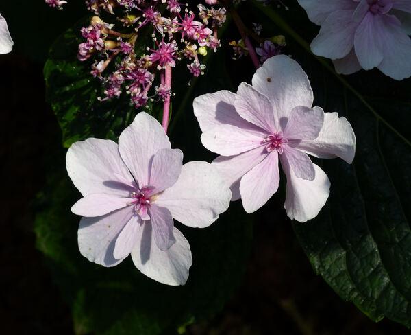 Hydrangea macrophylla (Thunb.) Ser. 'Miharayama Yae'