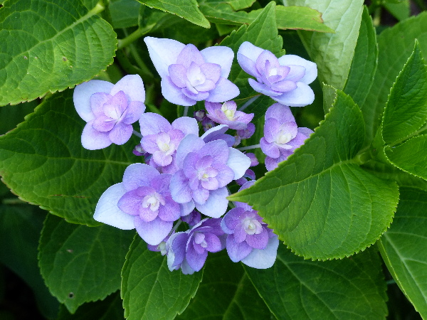 Hydrangea macrophylla (Thunb.) Ser. 'Eternity ®'