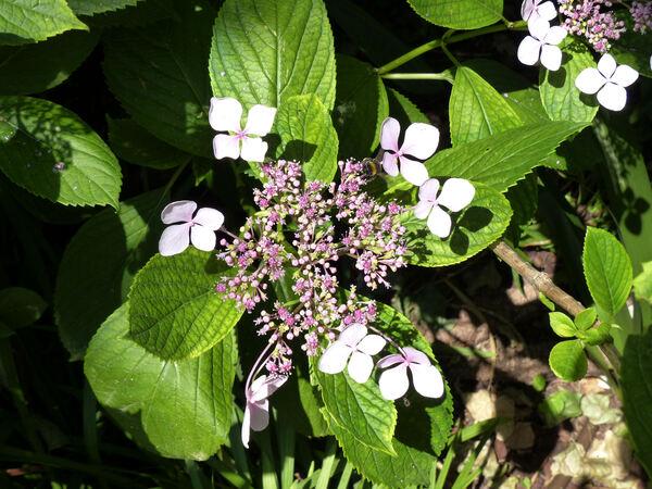 Hydrangea macrophylla (Thunb.) Ser. 'Blue Wave'