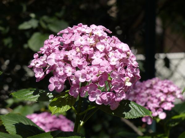 Hydrangea macrophylla (Thunb.) Ser. 'Ayesha'