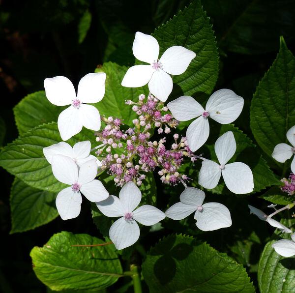 Hydrangea macrophylla (Thunb.) Ser. 'Lanarth White'