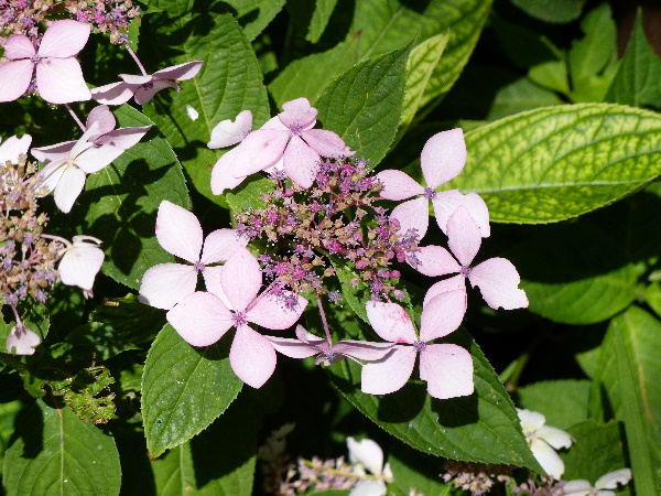 Hydrangea serrata (Thunb.) Ser. 'Grayswood'