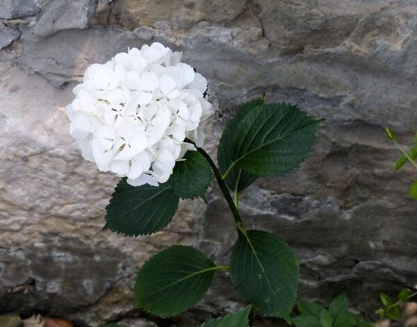 Hydrangea macrophylla (Thunb.) Ser. 'Schneeball'