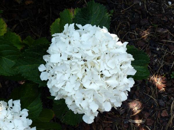 Hydrangea macrophylla (Thunb.) Ser. 'Nymphe'