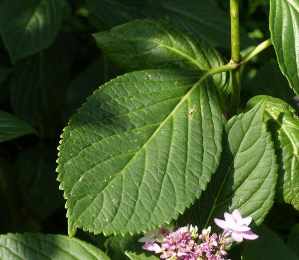 Hydrangea macrophylla (Thunb.) Ser. 'Izu-no-Hana'
