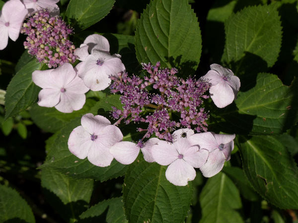 Hydrangea macrophylla (Thunb.) Ser. 'Tokyo Delight'