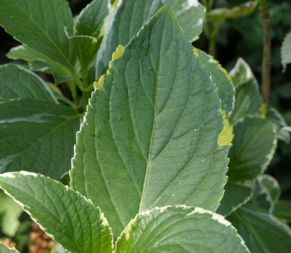 Hydrangea macrophylla (Thunb.) Ser. 'Tricolor'