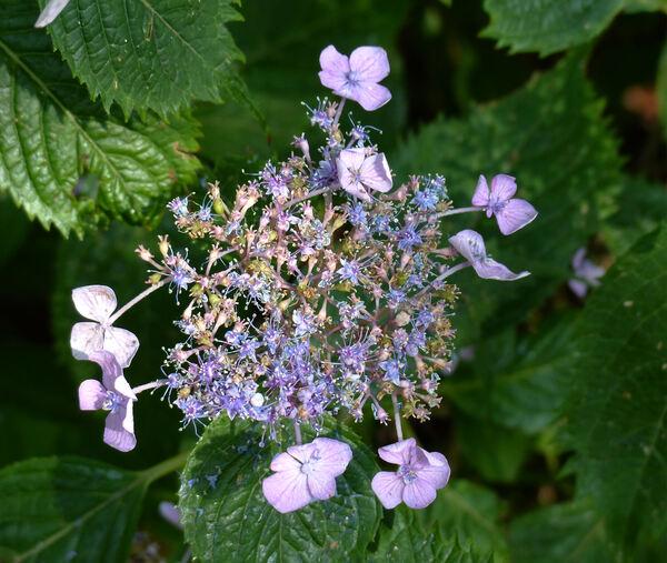 Hydrangea serrata (Thunb.) Ser. 'Blue Billow'