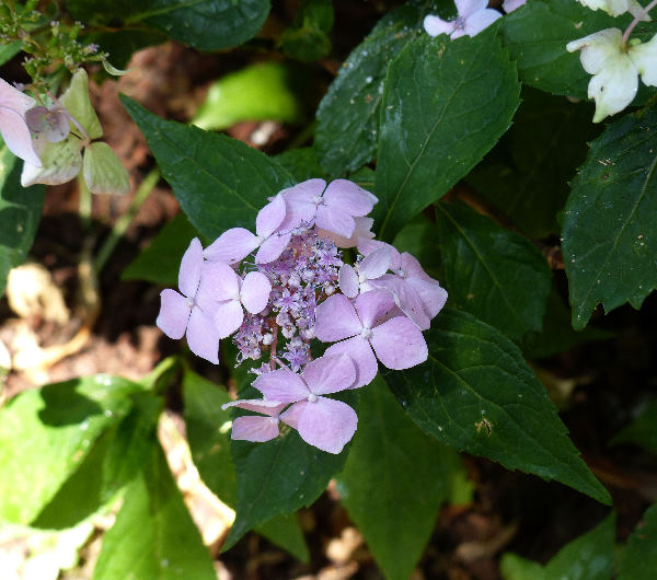 Hydrangea serrata (Thunb.) Ser. 'Blue Deckle'