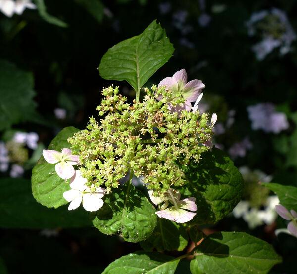Hydrangea serrata (Thunb.) Ser. 'Momohiroyama'