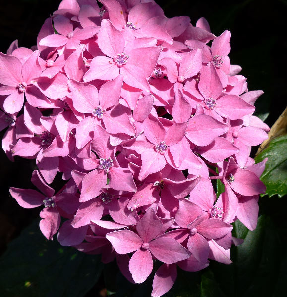 Hydrangea macrophylla (Thunb.) Ser. 'Nana Tovelit'