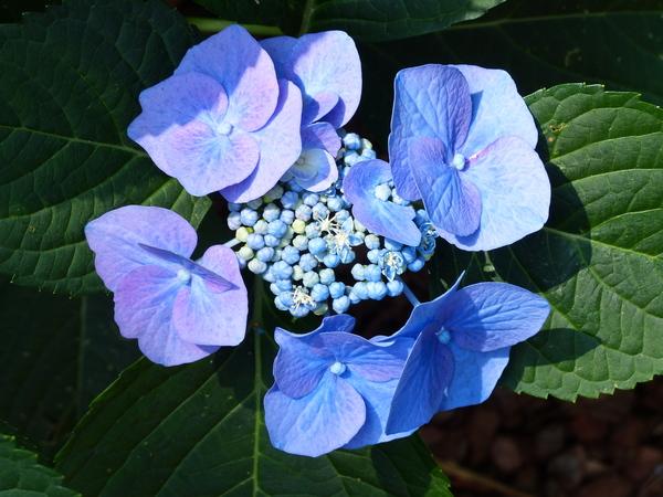 Hydrangea macrophylla (Thunb.) Ser. 'Blaumeise'