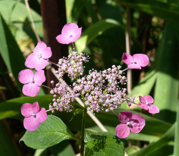 Hydrangea serrata (Thunb.) Ser. 'Niji'