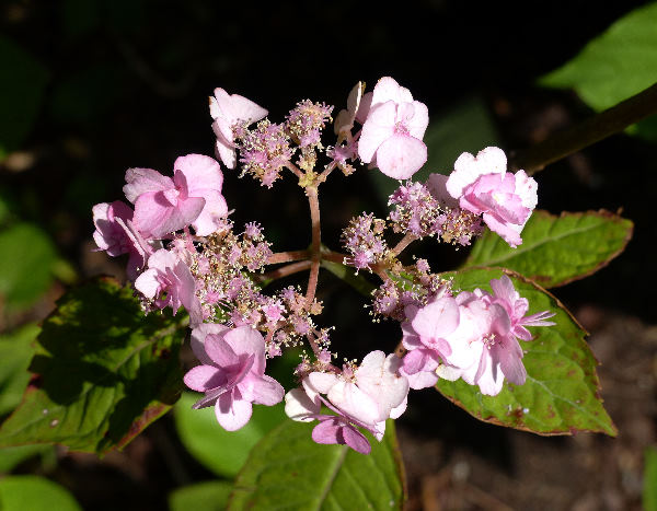 Hydrangea serrata (Thunb.) Ser. 'Yae no Amacha'