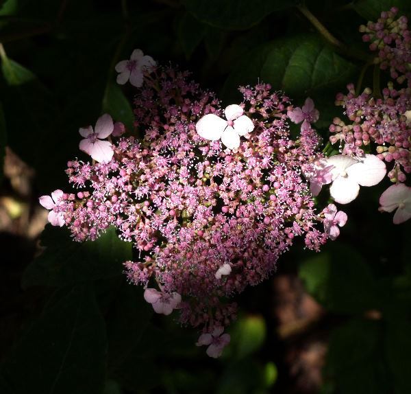 Hydrangea serrata (Thunb.) Ser. 'Oamacha'