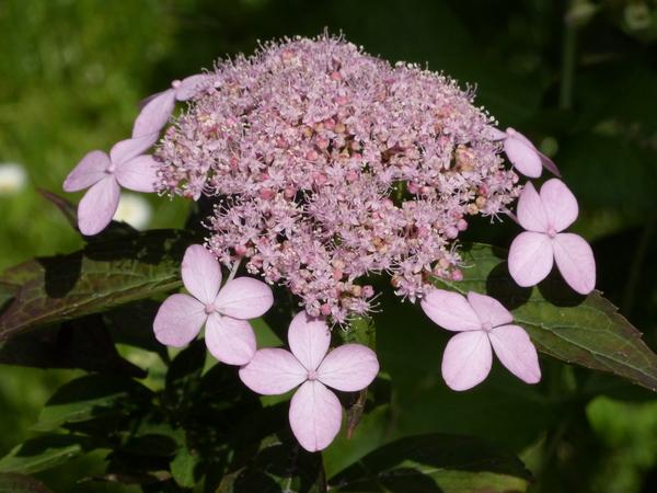 Hydrangea serrata (Thunb.) Ser. 'Diadem'